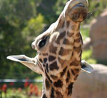 Baringo Giraffe by Henrik Lehnerer