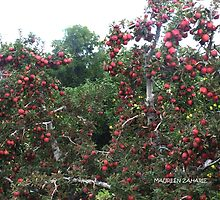 beautiful abundance of red delicious apples! 3 by Maureen Zaharie