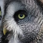 Grey owl ? by DAVE SNEYD