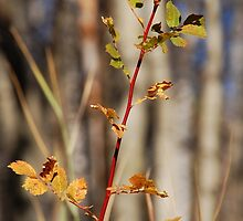 Decaying Wild Rose by Jared Manninen