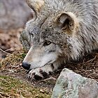 Timber Wolves - Gray Spirit Of The Forest 5 by WolvesOnly