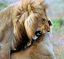 WILDLIFE WAYS - THE LION – Panthera leo by Magaret Meintjes