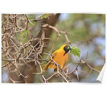 Golden Weaver - African Peace Symbol Poster