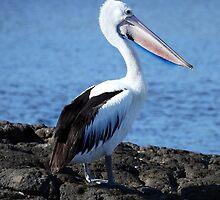 Cudgen Creek Kingscliff Pelican by Ron Finkel