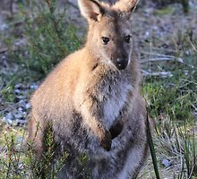 Female Bennett's Wallaby by CovePicsTas