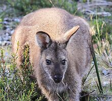 Lovely Wallaby by CovePicsTas