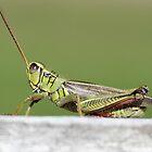Grasshopper taking a break by Sheryl Hopkins