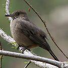 gray bellied shrike tyrant by Dennis Cheeseman
