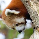 Red Panda 3 by Ellesscee