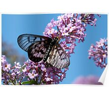 Glasswing Butterfly, Acraea andromacha 2. Poster