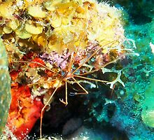 Arrow Crab on Coral Reef by Amy McDaniel