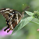 Giant Swallowtail... by Poete100