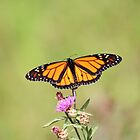 Male Monarch Butterfly by hummingbirds