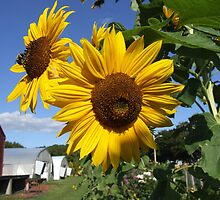 sunflowers at the farm by Maureen Zaharie