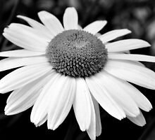 daisy in black and white by IOANNA PAPANIKOLAOU