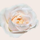 pretty pure white rose flower. Floral photo art.  by naturematters