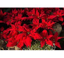 Happy Scarlet Poinsettias Christmas Star Photographic Print