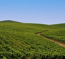 Vineyards by randymir