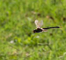 Dragon in flight by Dwellsphoto