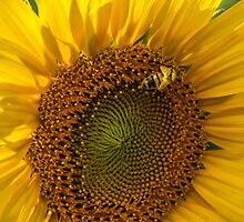Sunflower and Bee by PaulToole
