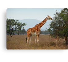 Rothschild's Giraffe Feeding, Lake nakuru, Kenya Canvas Print