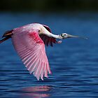 Roseate Spoonbill by Rob Lavoie