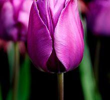 Purple Passion ~ Tulip by Karen  Betts