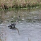 Blue Heron in the Rain by Vicki Spindler (VHS Photography)
