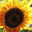 Sunflower 10 by marybedy