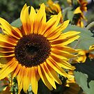 Sunflower 11 by marybedy