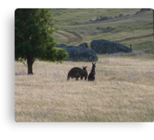 Big Dad & Floe in the paddock, 'Arilka' Adelaide Hills. S.A. Canvas Print