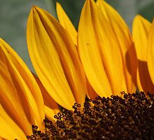 Sunflower 17 by marybedy