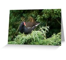Moorhen Greeting Card