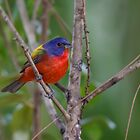 Painted Bunting by Rob Lavoie