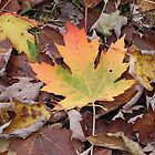 Canadian Maple by Martha Medford