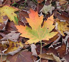 Canadian Maple by Martha Medford