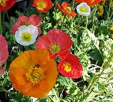 Poppies by AshleyPaynter