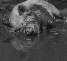 Happy pig - photograph by Paul Davenport
