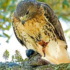 Red Tailed Hawk by imagetj