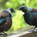 Tui.......don't you dare stick your tongue out at me......! by Roy  Massicks