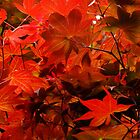 Red Japanese Maple by Gabrielle  Lees