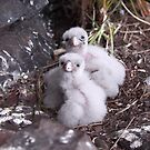 Baby peregrine falcons  by Donovan wilson