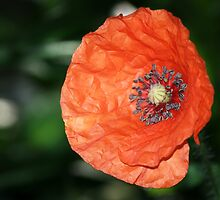 Poppy by Chris Day