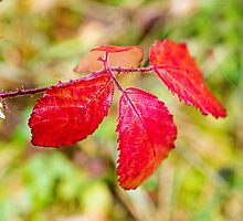 Red Autumn Bramble Leaves by Nick Jenkins