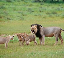 male lion teaching his cubs by travel4pictures