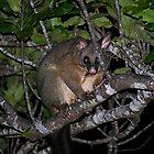 That bandit Possum is back again........! by Roy  Massicks
