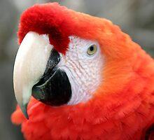Scarlet Macaw by Henrik Lehnerer