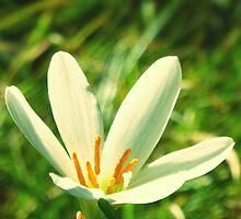Lily Flower Reaching High by aviva brooke