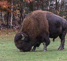 American Field Buffalo grazing by Josef Pittner