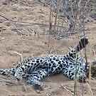 Leopard cub playing with reeds by Erik Schlogl